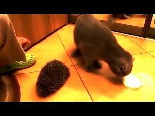 Котик чешется ёжиком
